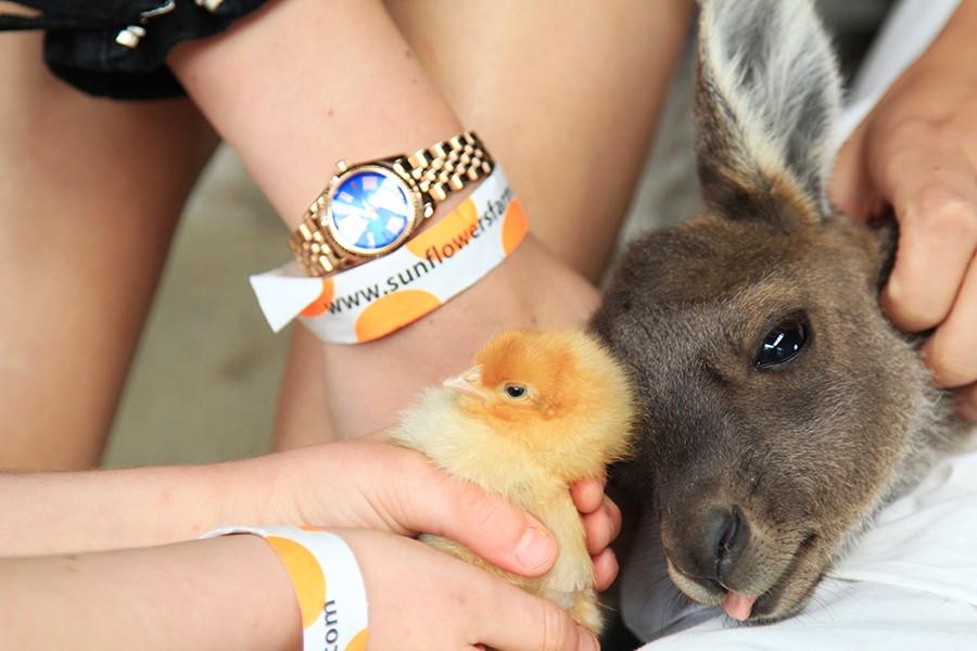 kangaroo-and-chick