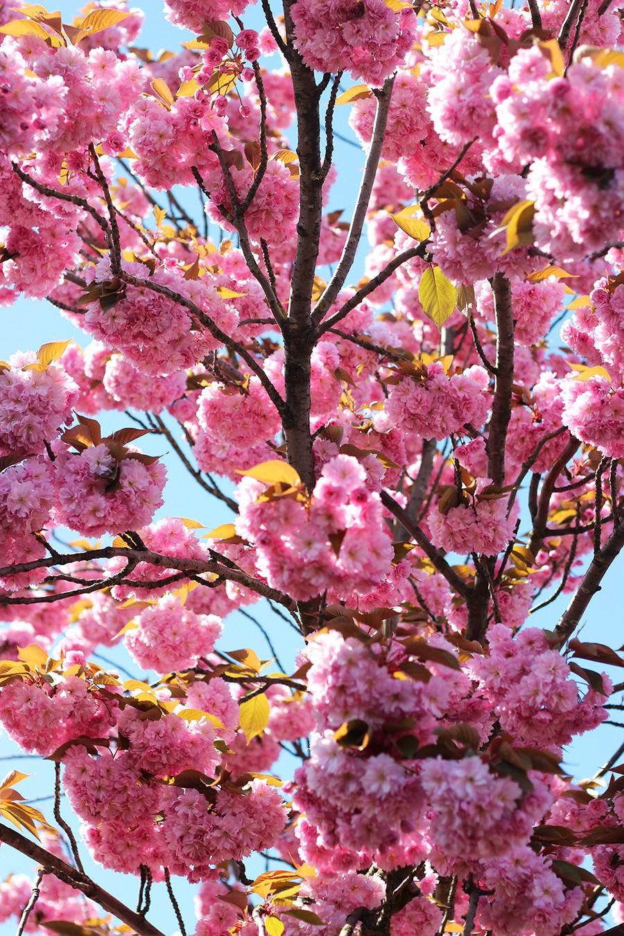 cherry-blossom-nederland