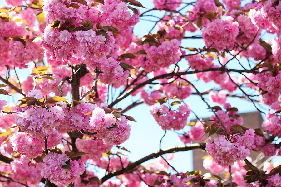 pink-blooms-spring