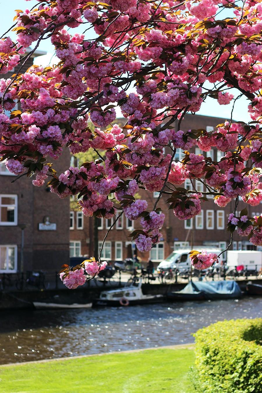 pink-cherry-blossom