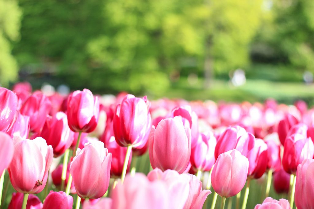 tulip-field (1 of 1)